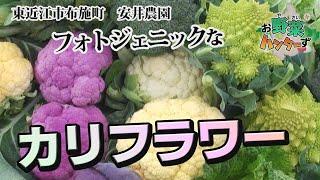 【お野菜ハンターず】色んなカリフラワー 東近江市 安井農園