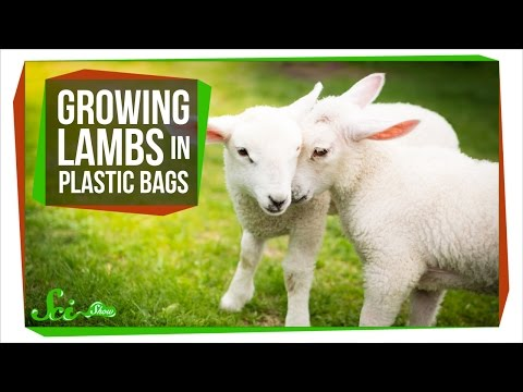 Growing Lambs in High-Tech Plastic Bags