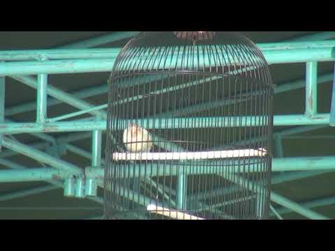 mp4 Lovebird Ring Srikandi, download Lovebird Ring Srikandi video klip Lovebird Ring Srikandi