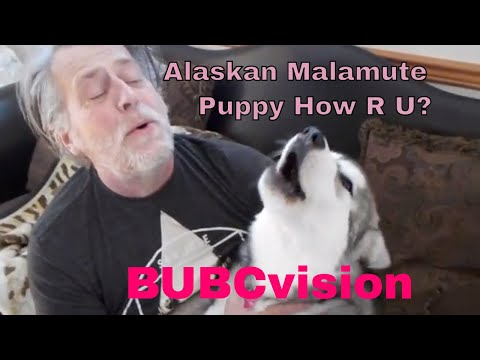 Alaskan Malamute Puppy Howl Are You Today