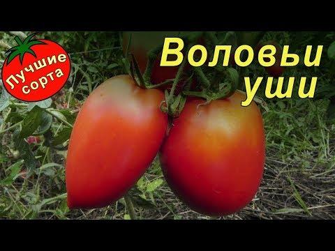 Томат Воловьи уши (лучшие урожайные сорта томатов для теплиц)