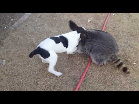 Raccoon Fights Hound Dog