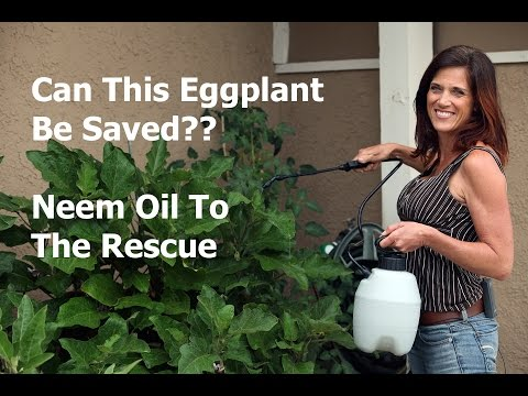 , title : 'Can This Eggplant be Saved?  Neem Oil to the Rescue