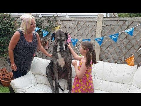 أطول كلب في العالم يدخل عالم الأرقام القياسية من جديد! ( فيديو)