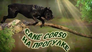 Собака Кане Корсо на прогулке осенью.#canecorso