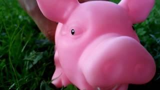 Свиня на прогулке