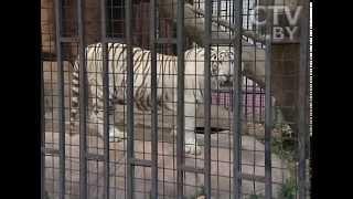 CTV.BY: В Минском зоопарке живёт самый редкий вид тигров - бенгальский белый тигр