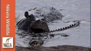 Watch what happens when this hippo gets playful with a crocodile