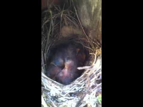 Putnu mazuļi...