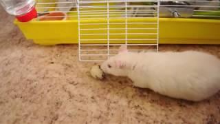 крыса рассердилась на яйцо! забавное видео с крысой Матильдой;):))