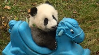 preview picture of video '2014 born panda baby playing horse toy  パンダ 熊猫  December 6th., 2014'