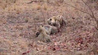 Leopard v Hyena part 1