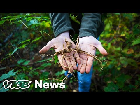 The Hunt For Wild Ginseng In Appalachia's Semilegal And Highly Lucrative Market