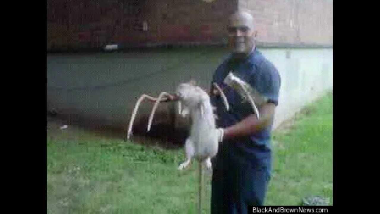 Giant Rats Infest Brooklyn! thumbnail