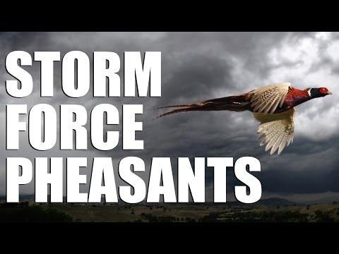 Pheasant shooting in stormforce winds