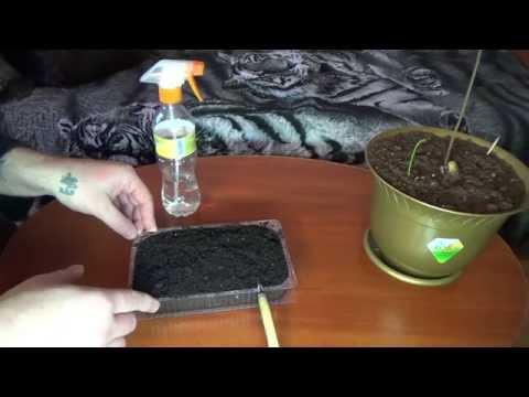 Как сажать Помело