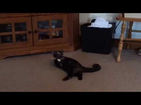Fudge, an adopted Domestic Short Hair in Boiling Springs, PA