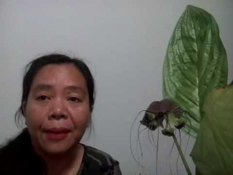 ว่านค้างคาวดำหรือเนระภูสีไทย วรากรสมุนไพร โทร 0821515014 , ID Line varakhonherbs
