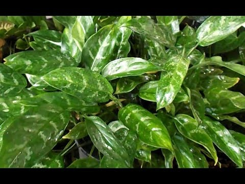 Chinese Evergreen Aglaonema Plant Rescue and Propagation