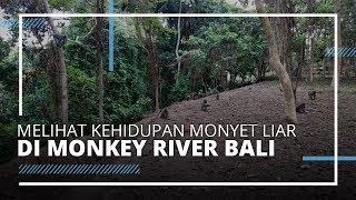 VIDEO TRAVEL | Melihat Kehidupan Alami Monyet di Monkey River Kemenuh