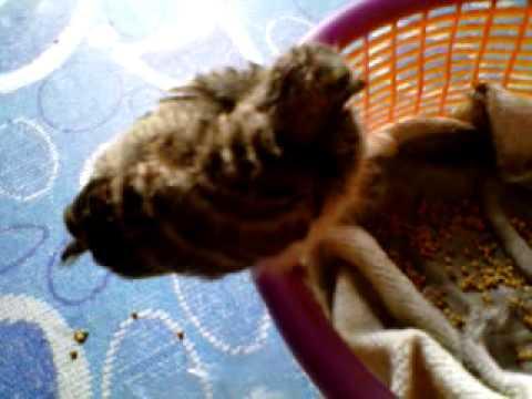 Video cara bagi makan anak burung terkukur