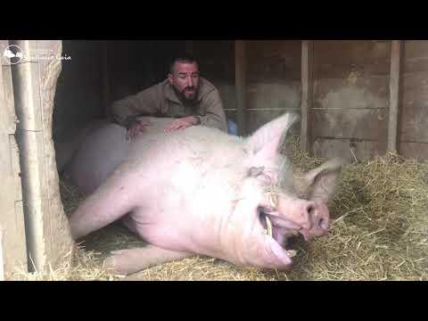 Ramón, un cerdo feliz