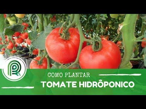 Cultivando tomate hidropônico em mil metros quadrados