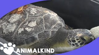 Bees are healing these turtles