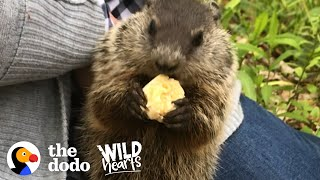 Wild Groundhog Won't Let Woman Go Home Without Her | The Dodo Wild Hearts by The Dodo