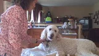 How to Clean a Goldendoodle Dog's Ears