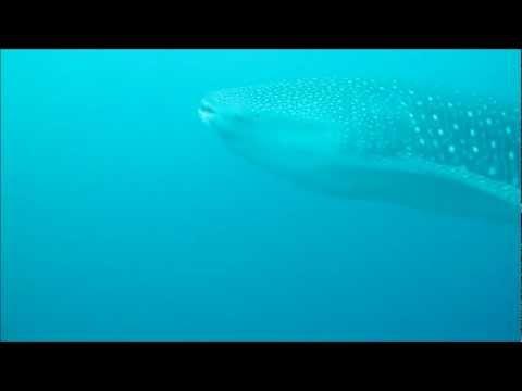 Tiburon Ballena en cabo Corrientes - Chocó