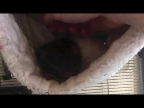 Megavolt, an adoptable Rat in Saint Paul, MN