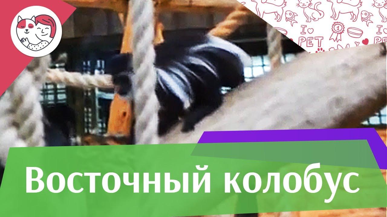 Восточный колобус Рацион на ilikepet