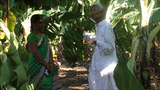 Banana cultivation by progressive farmer