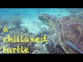 Diving - Philippinen 2017 - a chillaxed turtle / Tiefenentspannte Schildkröte- Asien