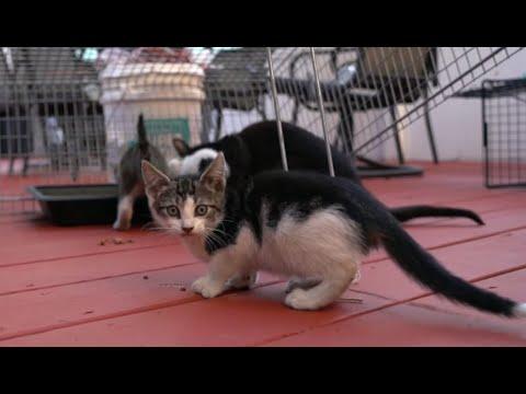 Socializing feral kittens