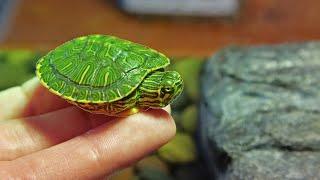 Hand Feeding My Pet Baby Turtle!