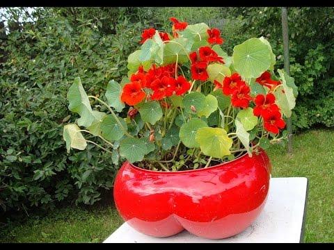 НАСТУРЦИЯ - неприхотливое растение для сада и балкона. Посадка и уход для пышного цветения