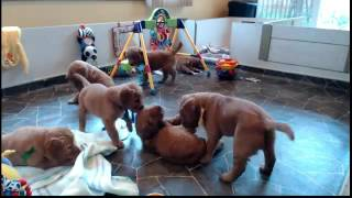 Golden Retriever Puppy Cam Live Stream