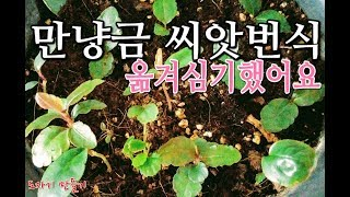 공기정화식물 만냥금 씨앗으로번식키우기Indoor Air Purification Plant