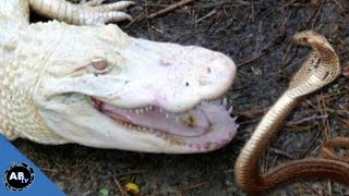 Deadly Snakes vs Albino Alligator!!! EP.429 : SnakeBytesTV : AnimalBytesTV
