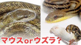 野生のヘビは餌用マウスとウズラどっちが好きなのか検証してみた