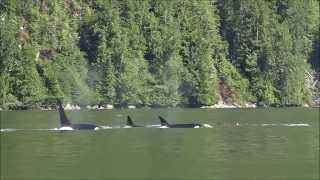 Killer whales eating dolphins