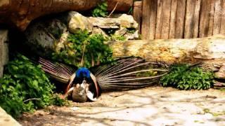 Mating Peacock