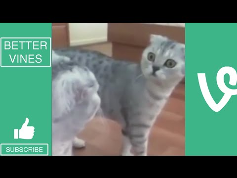 Funny Cats 2016 - Vine Compilation - BEST VINES ✔️