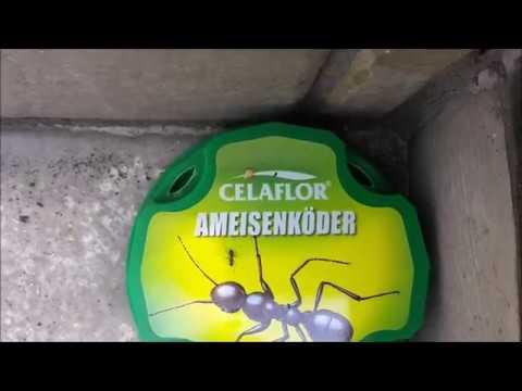 Ameisen / Ameisennest bekämpfen bzw. beseitigen (Celaflor Ameisenköder) - Test