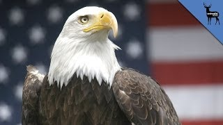 Why Does The Bald Eagle Represent America?