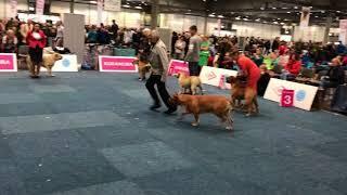 WORLD DOG SHOW 2017 Cadebou Male champion