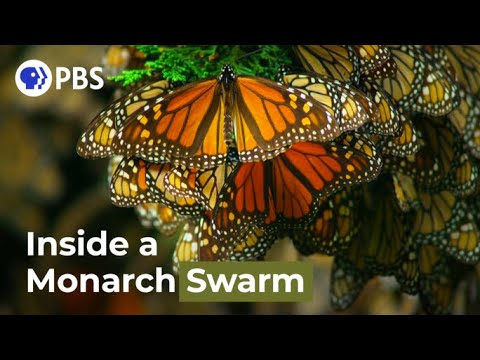 Watch the Monarch Butterfly Swarm in Gorgeous Detail!