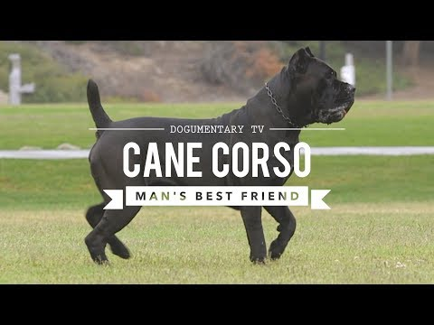 CANE CORSO: MAN'S BEST FRIEND